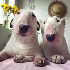 Who Can Post The Cutest English Bull Terrier Pics? Chien Bull Terrier, English Bull Terrier Puppy, Mini Bull Terriers, Miniature Bull Terrier, Bull Terrier Funny, Best Dog Breeds, Best Dogs, Education Canine, Dog Shedding