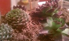 A gift. Succulents in a hanging globe <3