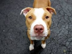 TO BE DESTROYED 8/23/14 Manhattan Center - P ***NEW PHOTO***  My name is CARALEE. My Animal ID # is A1011116. I am a female brown and white pit bull mix. The shelter thinks I am about 1 YEAR  I came in the shelter as a STRAY on 08/19/2014 from NY 10457, owner surrender reason stated was STRAY. https://www.facebook.com/Urgentdeathrowdogs/photos/a.611290788883804.1073741851.152876678058553/858975887448625/?type=1
