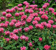 "Monarda didyma Pink Lace - White Flower Farm  *makes me think of Weston, MO*  Common Name: Bee Balm  Hardiness Zone: 4-8 S / 4-9 W  Height: 16""  Deer Resistant: Yes  Exposure: Full or Part Sun  Blooms In: July-Aug  Spacing: 12-18""  Ships as: 3"" Plastic Pot - 25.8 cu. in."