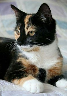 tortishell and white domestic cat Cute Cats And Kittens, I Love Cats, Crazy Cats, Cool Cats, Kittens Cutest, Ragdoll Kittens, Tabby Cats, Funny Kittens, Bengal Cats