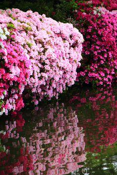 Shinsen-en, Kyoto, Japan. 満開の華やかなツツジにつつまれた京都神泉苑。二条駅と堀川御池(二条城)の中間に在ります。春は桜がキレイ。
