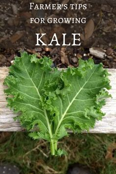 Learn how to grow kale to enjoy all fall and winter. Tips on kale varieties, when to plant kale, how to harvest kale, pest control, and frost protection. Learn from a farmer how to grow this versatile and easy to grow leafy green! #kale #fallvegetablegarden #fallvegetables #growingfood When To Plant Vegetables, Vegetables Garden, Organic Vegetables, Growing Vegetables, Vegetable Garden Tips, Backyard Vegetable Gardens, How To Harvest Kale, Gardening For Beginners, Gardening Tips