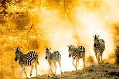 See the zebra migration in Botswana. Zebras, South Africa, Adventure, Places, Animals, Animales, Animaux, Animal, Adventure Movies