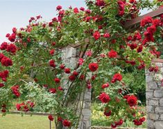 Climbing dark red Red rose,roses seeds,planting roses,growing roses from seeds