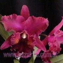Orquídea Blc.Oconee Mendenhall