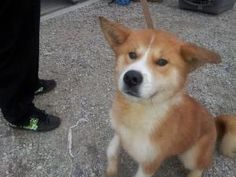 Sky-Akita mix (has sister Rain) is an adoptable Akita Dog in Pacific Palisades, CA. If you're interested in Sky (who also has a sister, Rain, BTW), please contact dharris6558@gmail.com Meet Sky (pictu...
