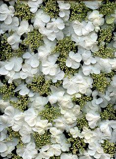 54302-01 Viburnum plicatum forma tomentosum 'Shasta' | Flickr - Photo Sharing!