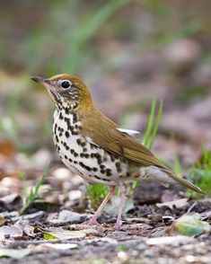 Wood Thrush - Whatbird.com