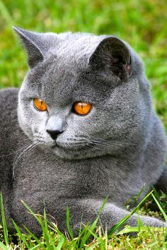 Teddy - Blue British Shorthair