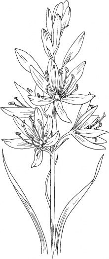 find this pin and more on flowers plants camassia scilloides or wild hyacinth coloring page
