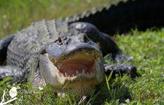 Survivor Alligator, Florida Everglades