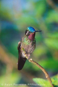 Purple-throated Mountain-Gem - Costa Rica Hummingbirds - Ralph Paonessa Photography Workshops