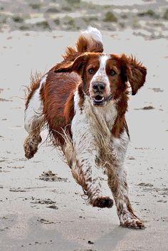 Welsh Springer Spaniel Mylo (Inma's Melbourne Magical Mystery) op het strand van Texel.