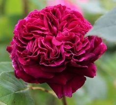 Rosa 'Falstaff' (David Austin English Shrub Rose)