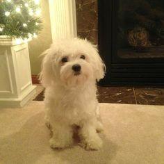 Bentley | Maltese | Puppy | Christmas