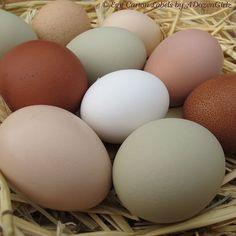 The Chicken Chick: tojás-evés Csirke-Hogyan leszokni Chicken Chick, Fresh Chicken, Chicken Eggs, Farm Chicken, Chicken Ideas, Chicken Coops, Best Omelette, Ceramic Chicken, Egg Photo