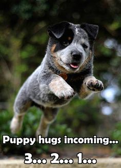 Blue Heeler - Australian Cattle Dog - Renowned for their Intelligence, Loyalty, Courage, Alertness & Protective Instinct Australian Cattle Dog, Aussie Cattle Dog, Australian Shepherd, I Love Dogs, Cute Dogs, Dog Rules, Rind, My Animal, Beautiful Dogs