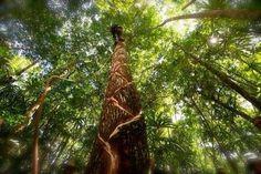 # chicle.  Pica del árbol