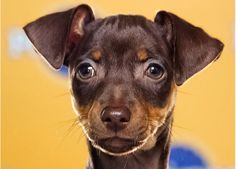 I am exceptionally excited that there's a miniature pinscher in the Puppy Bowl. And she's brown!