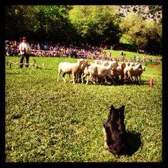 Concurs de gossos d'atura a Llavorsí - Estiu 2013