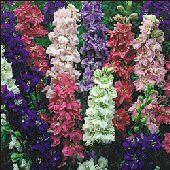 Google Image Result for http://www.reimerseeds.com/Images/products/flowers/FlowersL/Larkspur_Flowers_Seeds.jpg