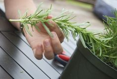 Propagating Rosemary - cant wait to try this!