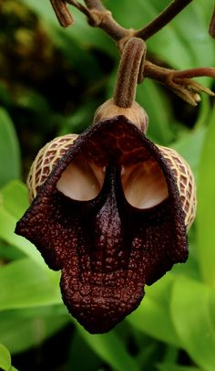 17 fleurs qui ressemblent a autre chose Aristolochia salvadorensis fleur dark vador   17 fleurs qui ressemblent à autre chose   tigre starwa...