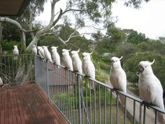 Wild cockatoos in Australia  They are beautiful until they eat your crops or your house.