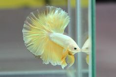 Betta Fish Types, Betta Fish Tank, Beta Fish, Cute Creatures, Beautiful Creatures, One Fish Two Fish, Siamese Fighting Fish, Angel Fish, Beautiful Fish