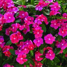 Vinca rosea - Cora® Cascade Cherry - Catharanthus roseus