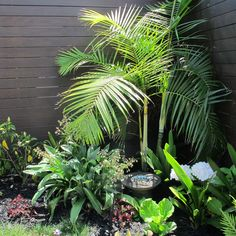 Dypsis baronii, a small multi-trunked palm cultivated in a New Zealand garden with native rengarenga lily (Arthropodium cirratum), clivia and hydrangea massed under it.