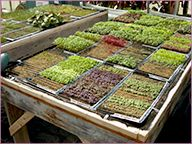 The Basics of Growing Micro Greens Year-Round: planning, sowing, production, harvesting, marketing