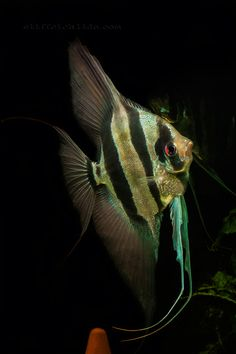 Zebra Angelfish. Mine has such a personality! Pterophyllum altum