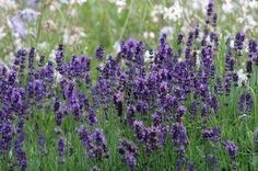 Houzz.co.uk: How to create a Bee friendly Garden.  Traditional Garden by Laara Copley-Smith Garden & Landscape Design