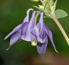 Pictures of Purple Flowers: Purple Columbine Picture