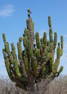 Crested Caracara, Todos Santos, Baja California Sur, Mexico