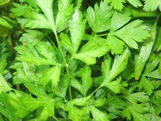 Snijpeterselie (Petroselinum sativum)   MijnTuin.org