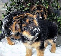 I mean does it get any cuter than German Shepherd puppies?