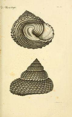 Le conchyliologiste universel Paris :A. Franck, libraire-éditeur,1845. / Sacred Geometry <3