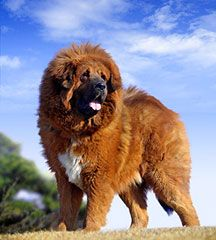 Tibetan mastiff Siberian Mastiff, Tibetan Mastiff Dog, Big Dogs, Large Dogs, Dogs And Puppies, Giant Dog Breeds, Large Dog Breeds, Lion Dog, Dog Cat