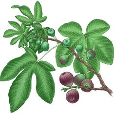 Growing figs is easy in Zones 7 to 9 provided you grow types of figs suited to your climate.