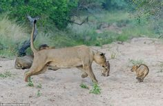 Play nicely with the kids! Daddy lion gets a ticking off from mum after getting a bit too rough with their cubs  Read more: http://www.dailymail.co.uk/news/article-2549650/Play-nicely-kids-Daddy-lion-gets-ticking-mum-getting-bit-rough-cubs.html#ixzz2s0xavlD2  Follow us: @MailOnline on Twitter   DailyMail on Facebook