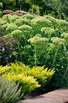Rozchodnik (Sedum)  http://dailytips.pl/rozchodnik/  fot. Patrycja Bydlińska  #ogród #kwiaty #rozchodnik #garden #sukulent #suculent