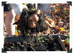 Learn how to grow Yacon - the amazing low calorie Peruvian root vegetable.