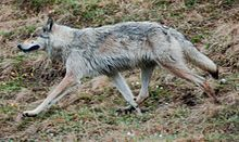 fact: generally when trotting a wolf places its hind paws in the tracks made by the from paws