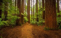 Thick trees and ferns / 1920 x 1200 / Forest / Photography | MIRIADNA.