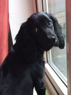 A list of the cutest black cocker spaniel pictures. Are you in the mood to see some adorable photos of black cocker spaniels? This is a list of some of the cutest black cocker spaniel photos. Spaniel Breeds, Cocker Spaniel Dog, Dog Breeds, Cute Puppies, Cute Dogs, Dogs And Puppies, Doggies, Dogs Funny Husky, Sprocker Spaniel