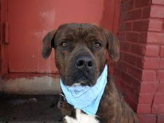 URGENT - Brooklyn Center    JO - A0991537   MALE, BR BRINDLE / WHITE, PIT BULL / ROTTWEILER, 5 yrs  STRAY - ONHOLDHERE, HOLD FOR ID Reason ABANDON  Intake condition NONE Intake Date 02/12/2014, From NY 11436, DueOut Date 02/20/2014,  MAIN THREAD: https://www.facebook.com/photo.php?fbid=758344290845119&set=a.617941078218775.1073741869.152876678058553&type=3&theater