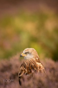 Red Kite, Milvus milvus by Carl Mckie / 500px Red Kite, Birds Of Prey, Owl, Animals, Animales, Animaux, Owls, Animal, Animais